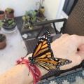 Monarch Butterfly Magic